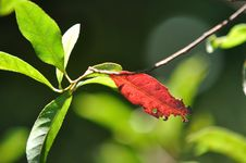 Red And Green Leaves Royalty Free Stock Image