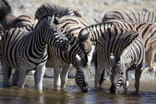 Free Zebras Drinking At A Waterhole Stock Photo - 13909960