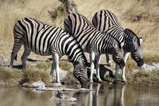 Free Zebras Drinking At A Waterhole Royalty Free Stock Images - 13909989