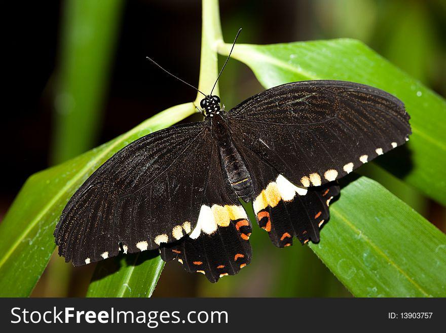 Papilio polytes, Common Mormon