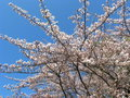 Free White Cherry Blossoms Royalty Free Stock Image - 13911346