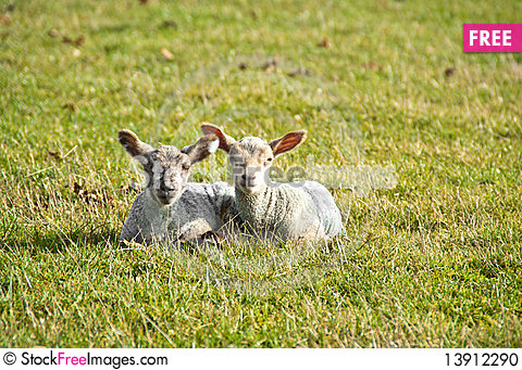 Free Two Lambs In A Field Stock Photo - 13912290