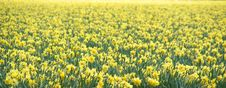 Free Yellow Flowers In A Field Royalty Free Stock Image - 13911036