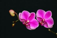 Free The Butterfly Orchid Stock Image - 13912821
