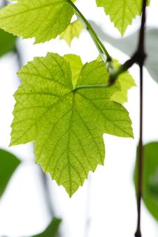Free Fresh Grape Leaves Stock Images - 13914464
