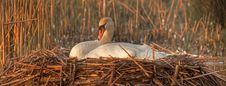 Free Swan Mute Nesting Stock Photo - 13915180
