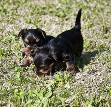 Free Yorkshire Puppies 3 Royalty Free Stock Photos - 13915428
