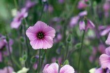 Free Geranium Maderense Yeo Stock Photo - 13915860