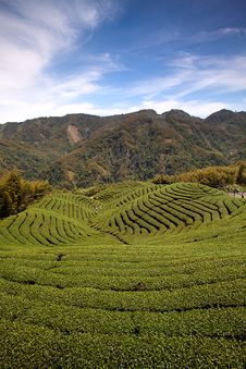 Free Ba Gua Tea Garden In Taiwan Royalty Free Stock Photo - 13916065