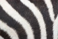 Free Zebra Stock Photo - 13916840