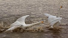 Free A Swan Showing Aggression Royalty Free Stock Image - 13917856