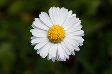 Free Daisy Royalty Free Stock Photo - 13918275