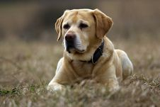 Free Labrador Retriever Stock Photo - 13918310