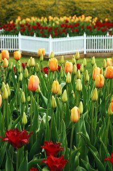 Free Tulip Garden In Spring Royalty Free Stock Image - 13918716