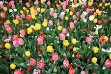 Free Colorful Tulips Royalty Free Stock Images - 13919549