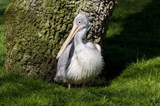 Free Pelican From Zoo Royalty Free Stock Photo - 13919795