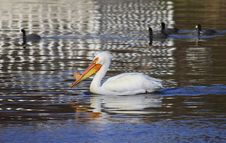 Free White Pelican Royalty Free Stock Image - 13919806