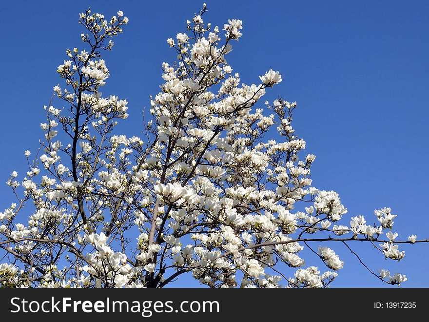 Blossoming Magnolia Tree Free Stock Images Photos 13917235