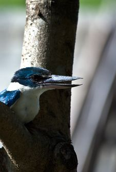 Free Exotic White-Collared Kingfisher Stock Photo - 13920020