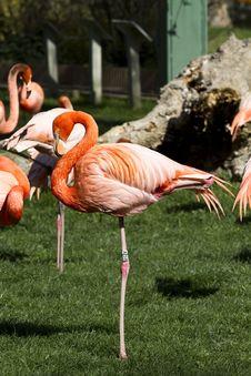 Free Flamingo Royalty Free Stock Photo - 13920095