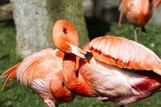 Free Flamingo Royalty Free Stock Images - 13920149