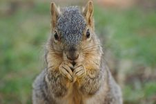 Free Squirrel Eating Royalty Free Stock Photos - 13920458