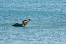 Pelican Is Floating On Sunny Day Royalty Free Stock Photo