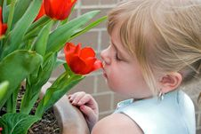 Free Red Tulip Royalty Free Stock Image - 13920726
