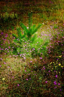 Wonderful Lawn Of Flowers And Little Pine-tree. Stock Photography