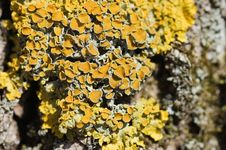 Free Yellow Lichen On A Tree Bark Royalty Free Stock Photos - 13921828