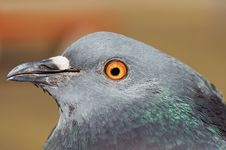 Pigeon Head Of Profile Royalty Free Stock Images