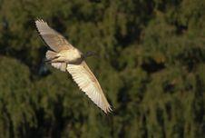 Free Sacred Ibis (Threskiornis Aethiopicus) Royalty Free Stock Photos - 13924298