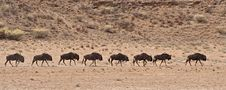 Free A Line Of Wildebeest Walking In The Kalahari Deser Stock Photos - 13924333