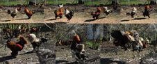 Free Rooster Fight Stock Images - 13924464