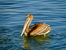 Free Pelican Stock Photography - 13925212