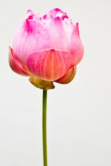 Free Tropical Lotus Stock Photography - 13925242