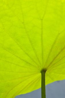 Free Lotus Leaf Stock Photo - 13925300