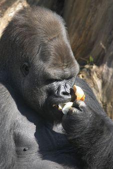 Free Gorilla Eating Onion Royalty Free Stock Photo - 13925375