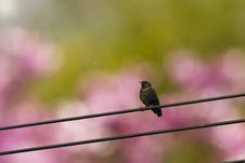 Spring Bird On A Wire Royalty Free Stock Photography