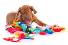 Puppy Of Dogue De Bordeaux (French Mastiff) Royalty Free Stock Photo
