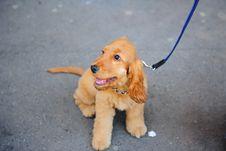 Free Cocker Dog Stock Image - 13927111