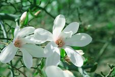 Free Magnolia Flowers Stock Images - 13927424