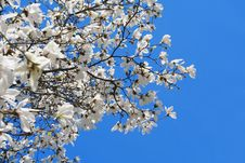 Free White Magnolia Royalty Free Stock Images - 13927439