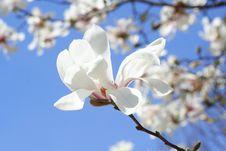 Free Japanese Magnolia Stock Images - 13927464