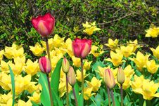 Free Yellow And Pink Tulips Stock Images - 13927514