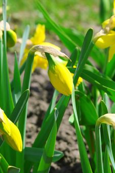 Free Daffodil Buds Stock Photo - 13927560