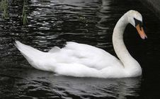 Free Photo Of White Swan Stock Photography - 13927652