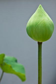 Free Lotus Royalty Free Stock Image - 13927756
