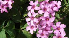 Free Flowers Royalty Free Stock Photo - 13927985