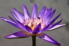 Free Lotus Royalty Free Stock Photos - 13928158